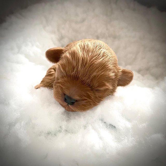 Image 7 of K.C Registered Red Toy poodle for stud