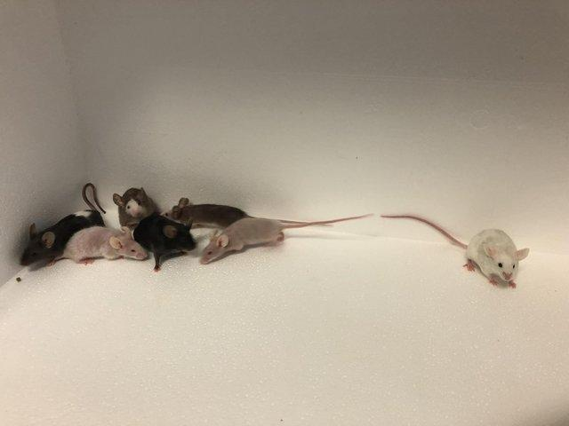 Image 3 of Own bred tame baby mice at urban exotics august 21