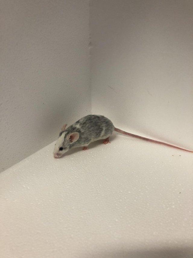 Image 4 of Own bred tame baby mice at urban exotics august 21