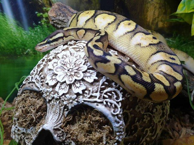Image 2 of Royal/ball python Rescue and rehome