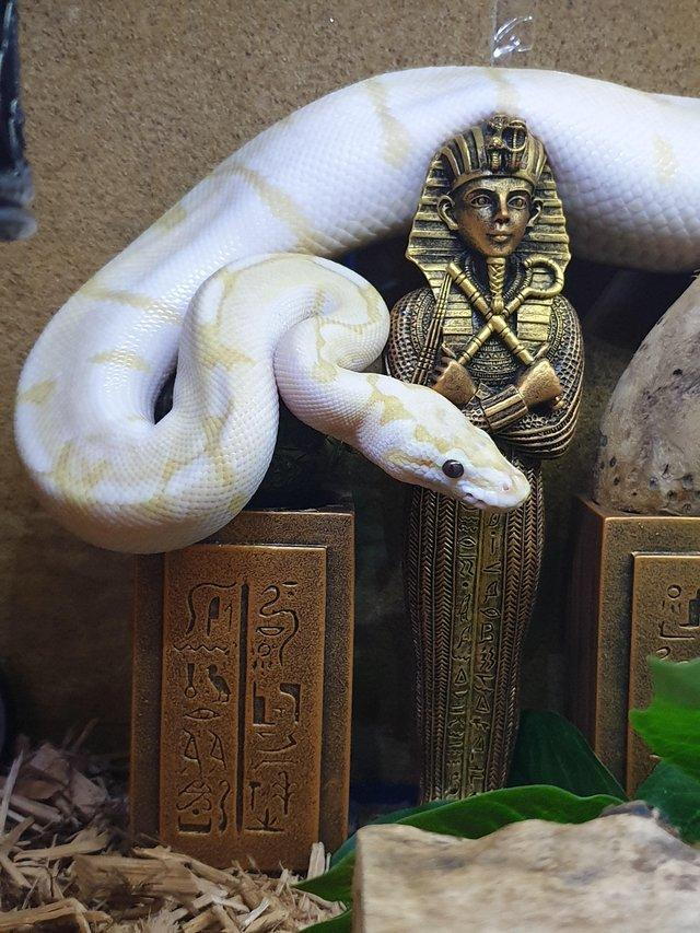 Image 3 of Royal/ball python Rescue and rehome