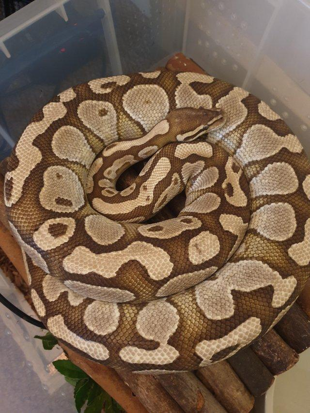 Image 4 of Royal/ball python Rescue and rehome