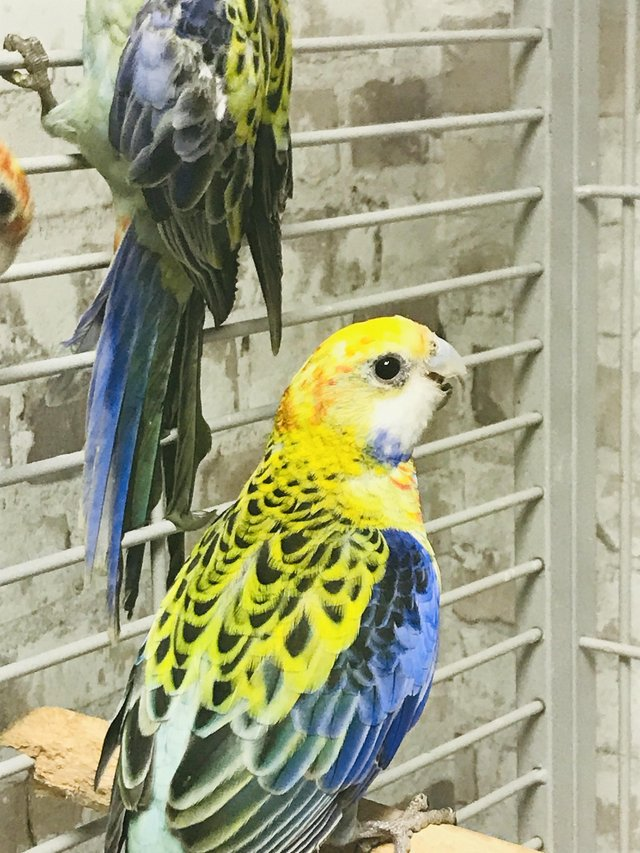 Preview of the first image of Beautiful Baby Rosella Talking Parrot.