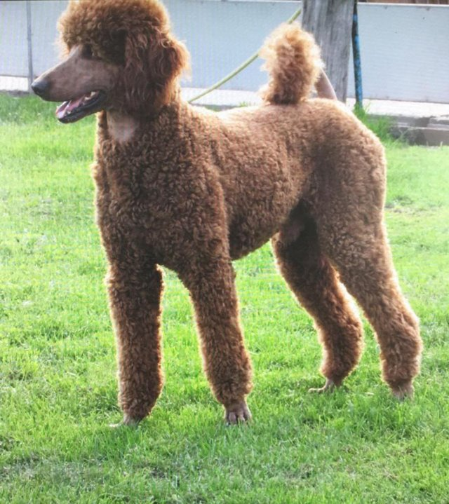 Preview of the first image of STUNNING STANDARD RED POODLE.