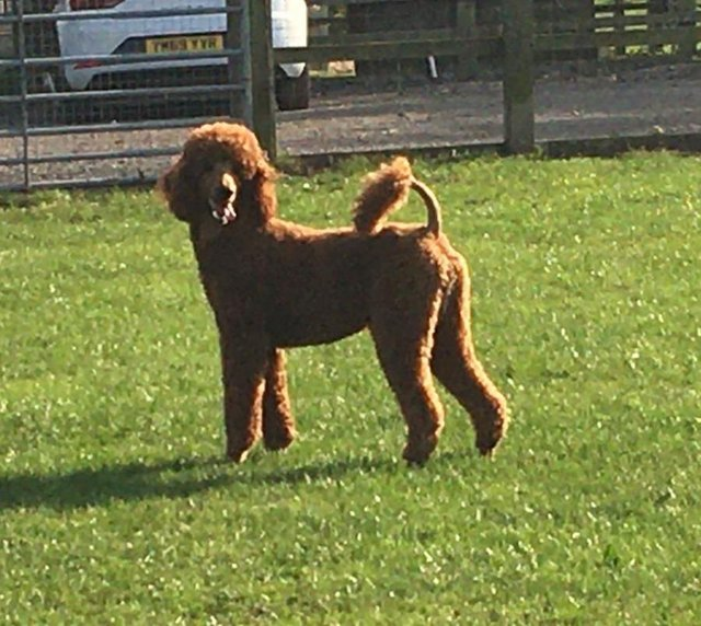 Image 2 of STUNNING STANDARD RED POODLE