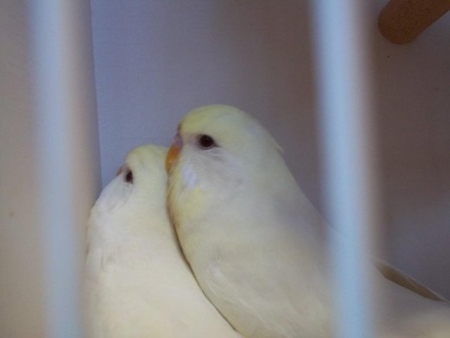 Preview of the first image of BUDGIES.