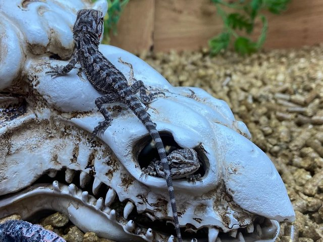 Preview of the first image of Orange Citrus Bearded Dragons.