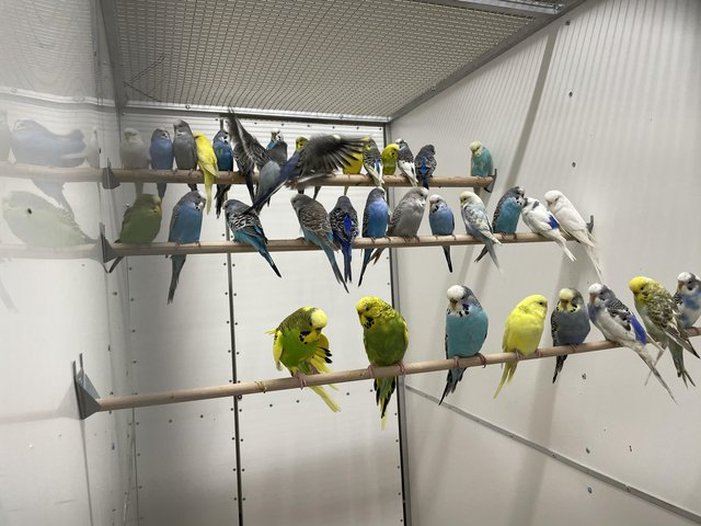Preview of the first image of Various colour budgies at urban exotics.