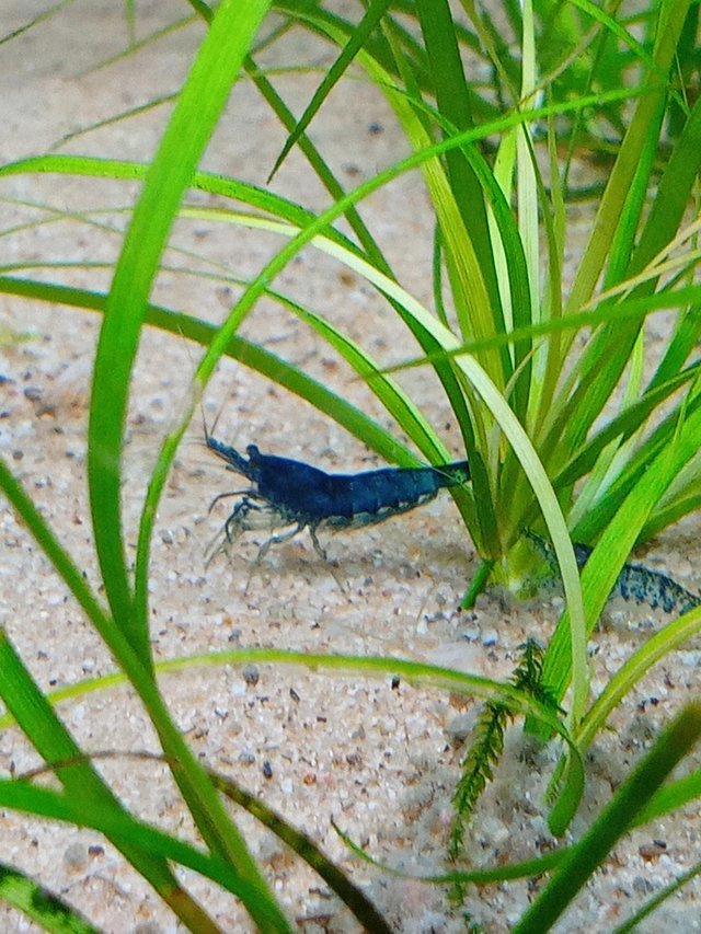 Preview of the first image of Tropical aquarium fish neocaridina blue velvet, dream shrimp.