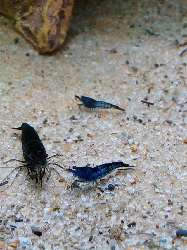 Image 3 of Tropical aquarium fish neocaridina blue velvet, dream shrimp