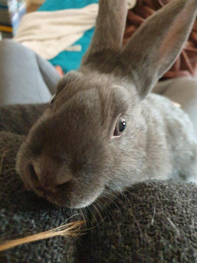 Image 2 of Baby belgian hare x mini lop available now