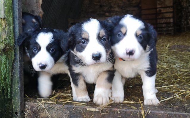 Image 3 of Tri Coloured Border Collie Puppies