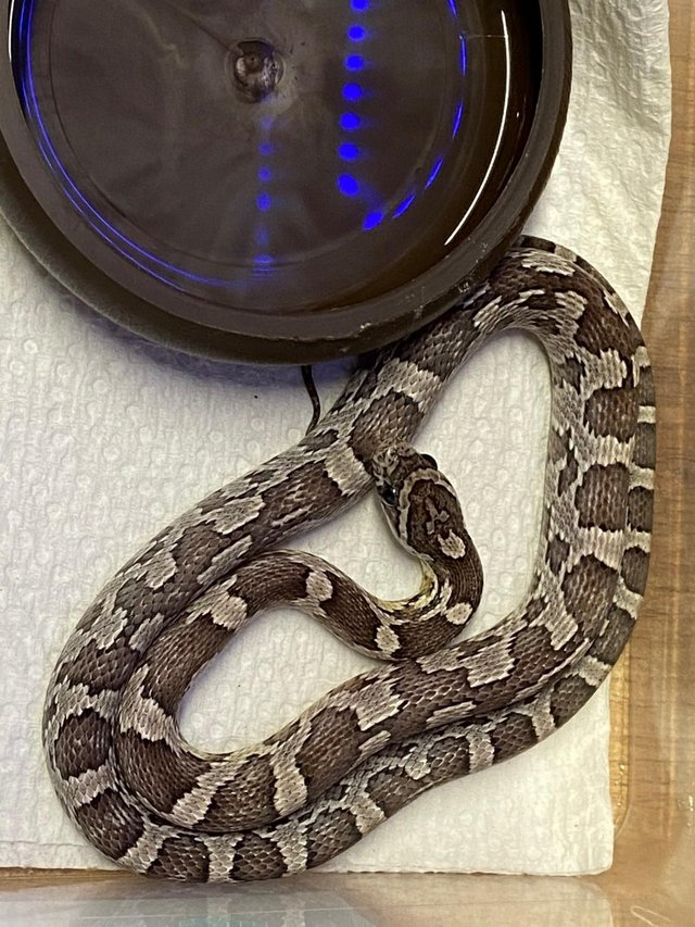 Image 3 of Snakes For Sale at B'ham Reptiles & Pets
