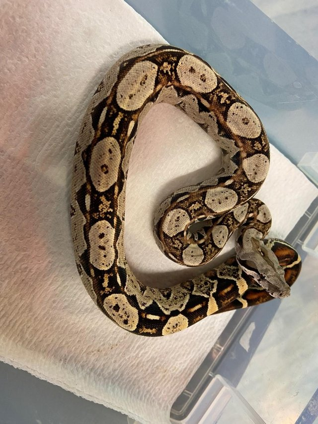 Image 4 of Snakes For Sale at B'ham Reptiles & Pets