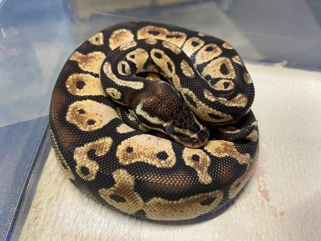 Image 7 of Snakes For Sale at B'ham Reptiles & Pets