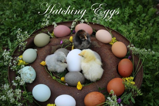 Preview of the first image of Hatching Eggs.