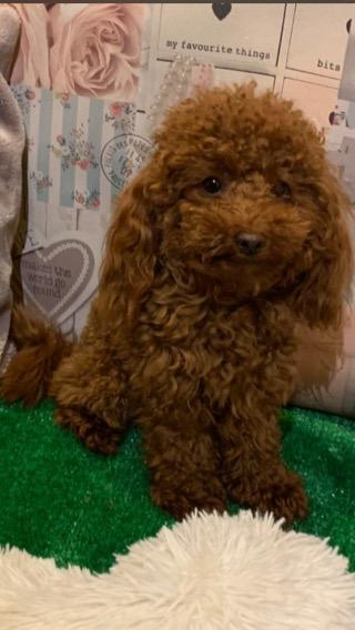 Preview of the first image of Extensively Health Tested Deep Red Toy Poodle Stud.