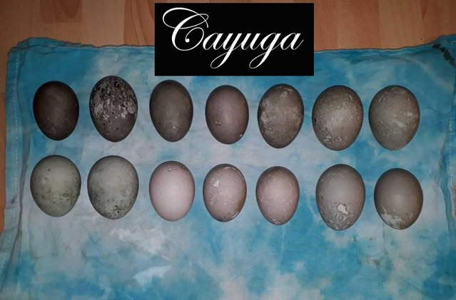 Image 22 of Hatching Eggs