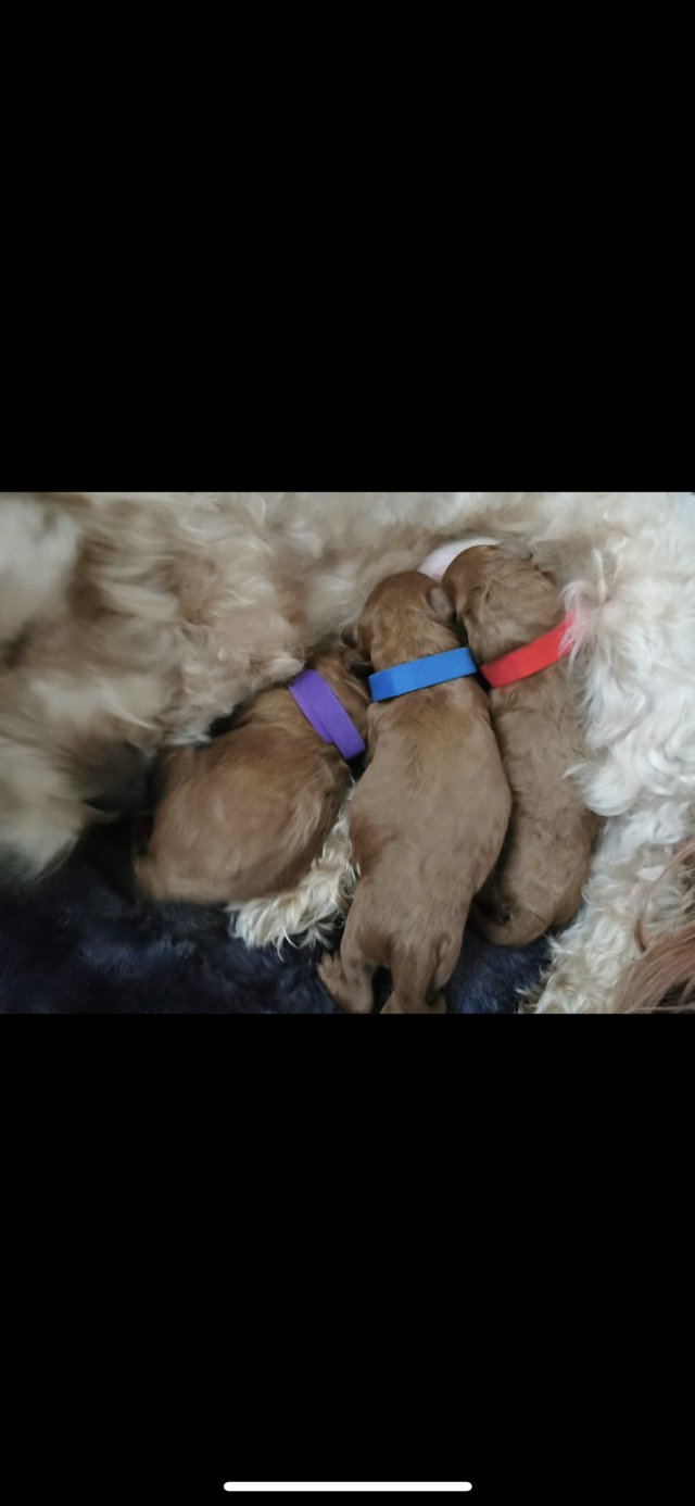 Image 17 of Extensively Health Tested Deep Red Toy Poodle Stud