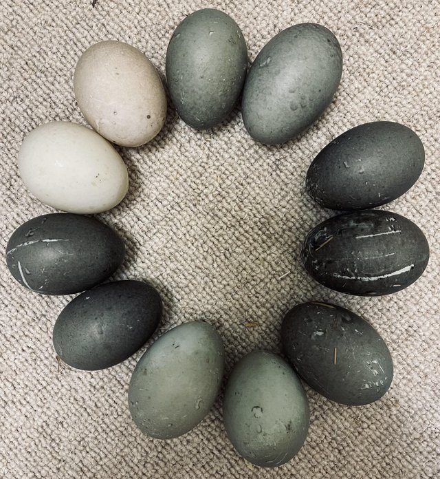 Image 4 of Fertile Cayuga Duck Hatching Eggs & Ducklings