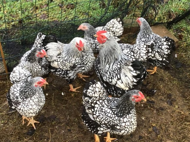 Preview of the first image of Silver Laced Wyandotte Bantam or Large Hatching Eggs.