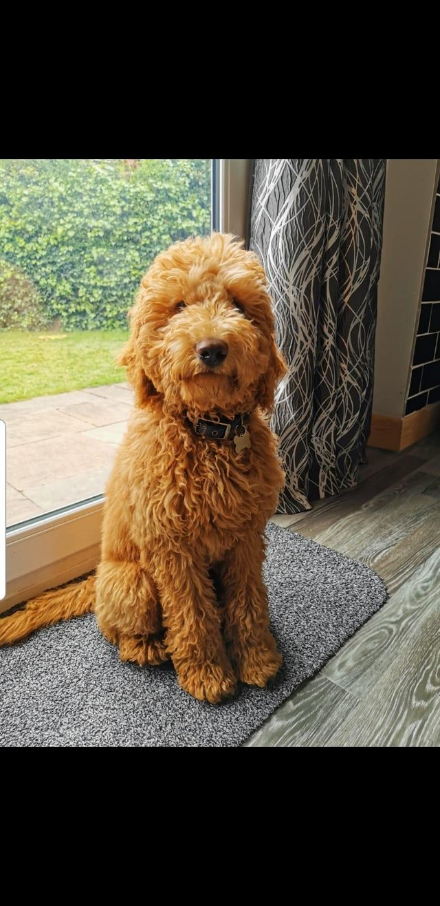 Image 12 of Kennel Club registered Red miniature poodle for stud