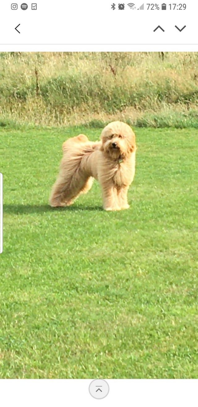 Image 13 of Kennel Club registered Red miniature poodle for stud