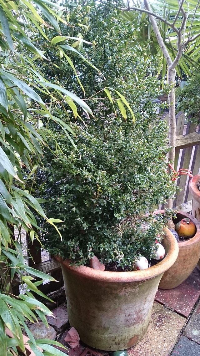 Image 3 of Large buxus plant in an ornamental terracotta pot