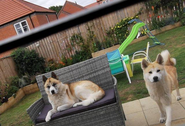 Image 4 of Husky x Akita Puppies READY NOW!!! LAST ONE!!!!