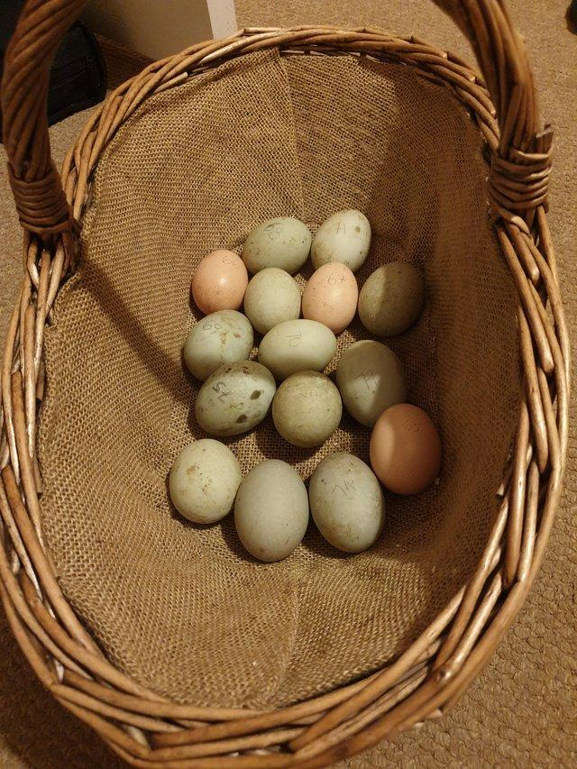 Image 2 of Cayuga duck eggs, fertile for hatching.