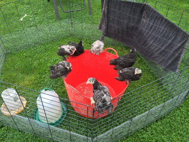 Image 3 of Brahma Hybrid Fertile Hatching Eggs for Incubator / Broody