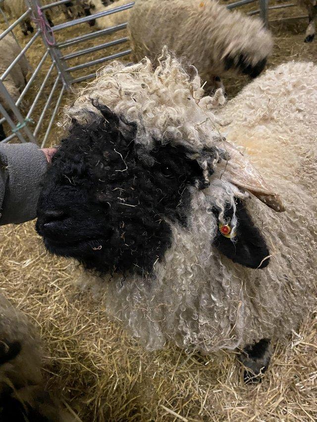 Image 2 of Pure Valais Blacknose Rams