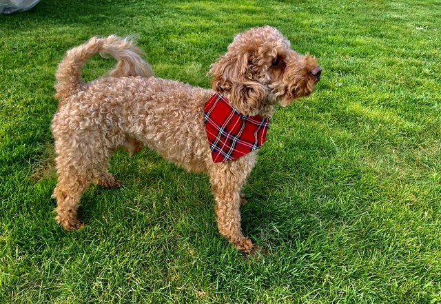 Image 2 of Extensively Health Tested KC Reg Red Miniature Poodle Stud