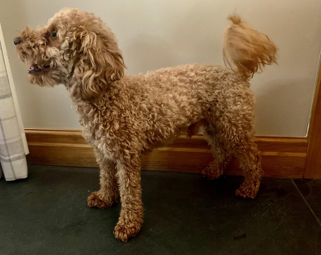 Image 3 of Extensively Health Tested KC Reg Red Miniature Poodle Stud