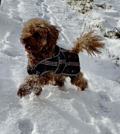 Image 4 of Extensively Health Tested KC Reg Red Miniature Poodle Stud