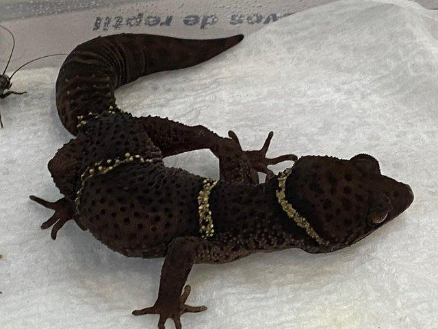 Image 2 of Adult male Chinese Cave Geckos
