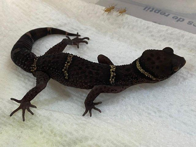 Image 3 of Adult male Chinese Cave Geckos