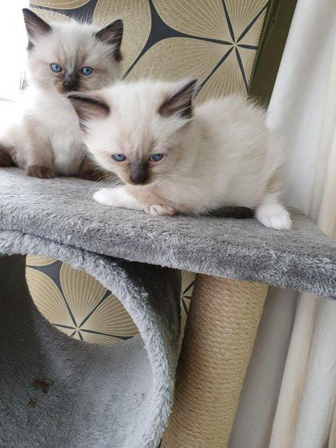Image 2 of SEALPOINT RAGDOLLS READY FOR NEW HOME