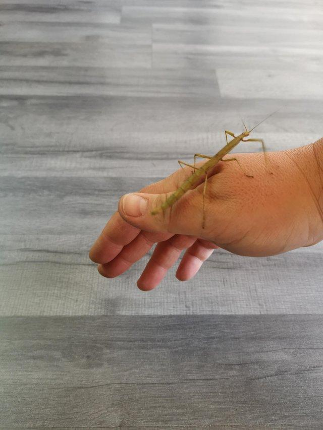 Preview of the first image of Indian stick insect £1 each.