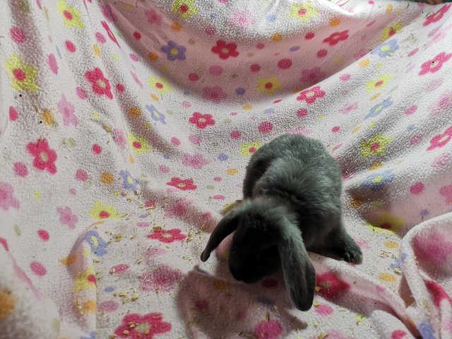 Image 3 of Vaccinated Blue Mini Lops