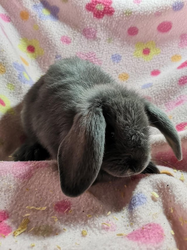 Image 4 of Vaccinated Blue Mini Lops