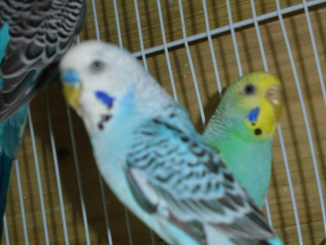 Preview of the first image of beautifull budgies.