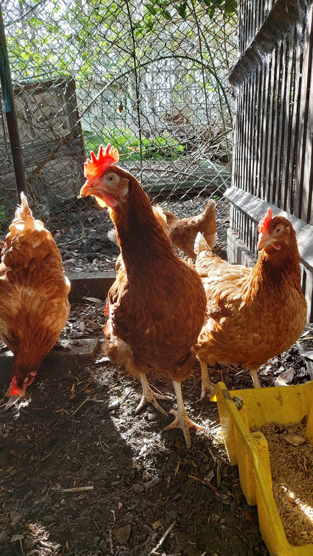 Preview of the first image of Brown laying hens.