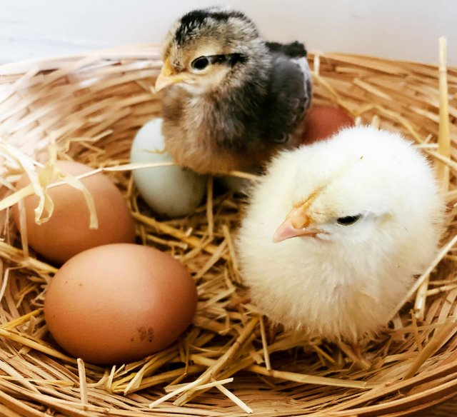 Preview of the first image of Mixed Chicken Hatching Eggs.