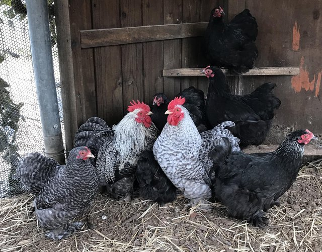 Image 3 of Pekin bantams. in Leicestershire POL15 each.
