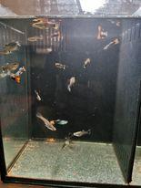 Image 3 of Swortails, guppies and Mollies
