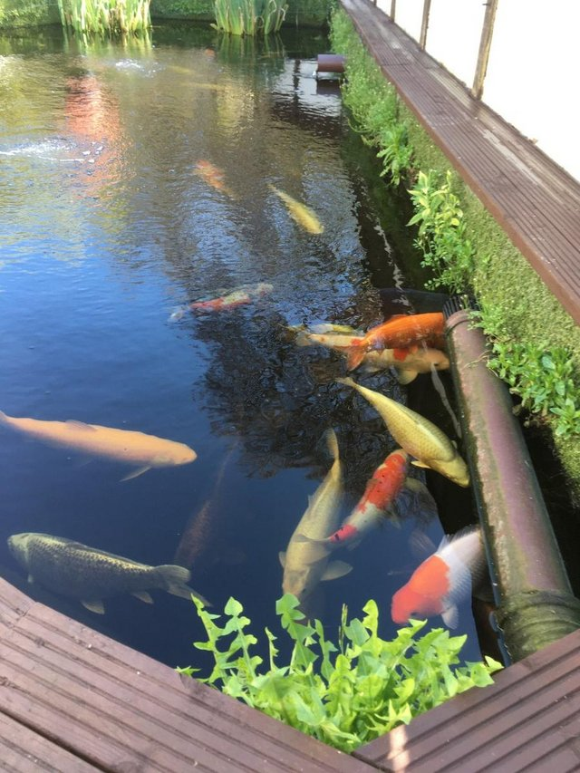 Preview of the first image of UK Bred Japanese Koi Pond fish.