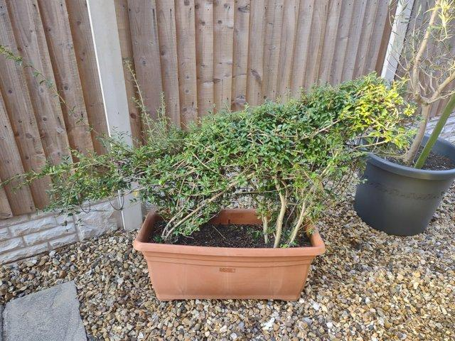 Image 2 of Topiary fox plant