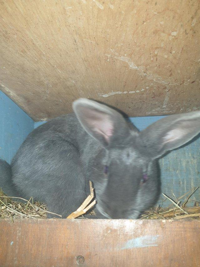 Image 5 of Baby belgian hare x mini lop available now