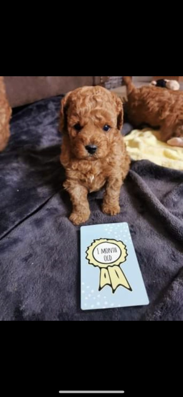 Image 21 of Extensively Health Tested Deep Red Toy Poodle Stud